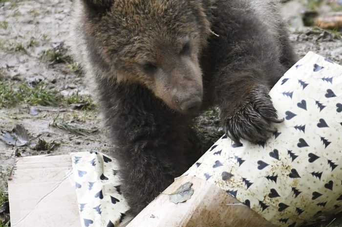 Je absurdné, aby premnožené medvede ohrozovali životy ľudí